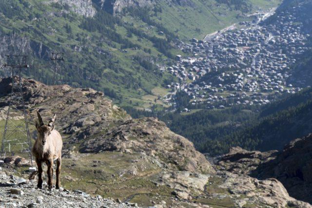 ZGD 2016-steinbock over zermatt photo @Willwesson